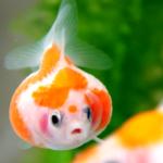 上戸彩が飼っていた「着物みたいなウロコの金魚」は何?画像や種類や値段も