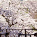 【千葉】桜が見えるレストランやカフェは?ランチ予約や場所や値段も