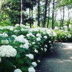 八景島あじさい祭り2018開花状況はライブカメラで!ライトアップ時間も
