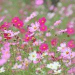 昭和記念公園コスモス2018開花情報!場所や種類は?近い駐車場や入口も